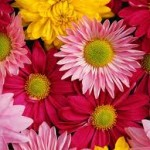 tightly packed bunch of pink, red and yellow crysanthemum